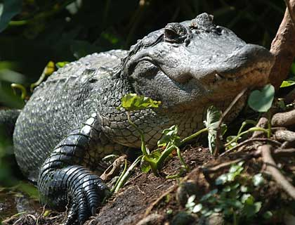 Gators, Gators, Gators! (Wildlife Park, Airboat Ride & Gatorland)