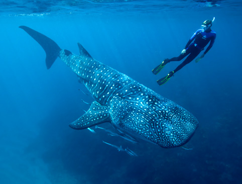 Whale Shark Encounter - Mayan Riviera