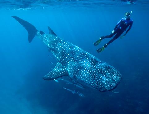 Whale Shark Encounter - Mayan Riviera