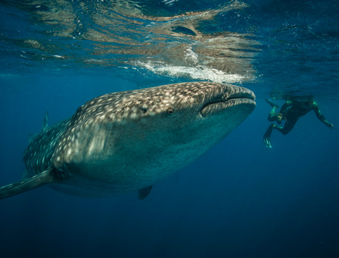 Whale Shark Encounter Snorkel Tour - Cancun